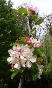 Consultation fleurs de bach 95 crab apple