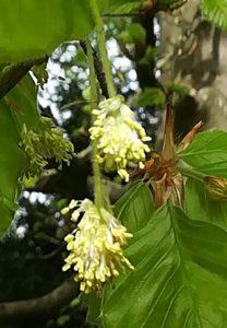 Fleur de Bach Beech