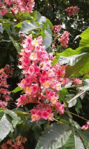 Fleur de Bach Red Chestnut