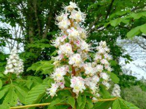 fleurs de bach white chestnut 95